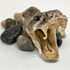 Genuine large Rattlesnake hat pin open mouth